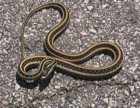 Garter Snake Green Black Hibian And Reptiles Of Michgan Flashcards By Proprofs