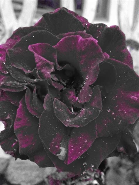 62 best smell the roses images on pinterest black roses