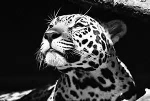 Pictures Of White Jaguars Image Gallery White Jaguar