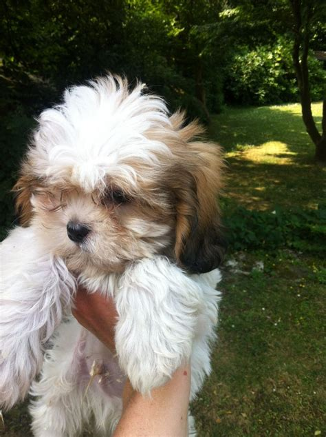 shih tzu cross king charles cavalier shih tzu cross cavalier king charles spaniel lingfield surrey pets4homes