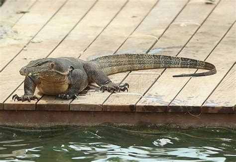 australian backyard lizards giant goanna lizard spotted in australia ny daily news