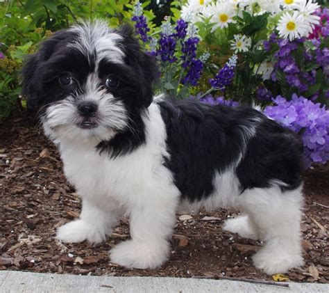 shih tzu bichon 35 shih tzu cross breeds you to see to believe