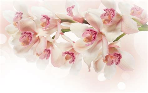 Burton Flower Pink Cover White white orchid wallpapers wallpaper cave
