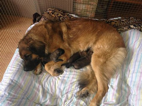 leonberger puppies for sale kc registered leonberger puppies for sale rushden northtonshire pets4homes