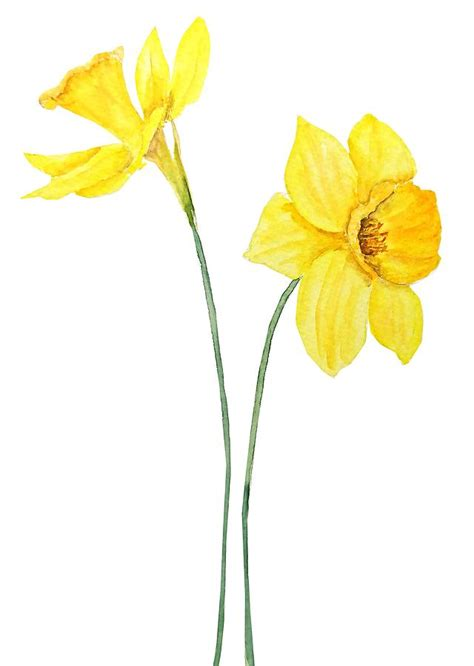 botanical colors two botanical yellow daffodils watercolor painting by