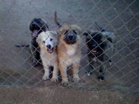 puppies for sale riverside ca 2 akita chow mix puppies for sale adoption from riverside california adpost