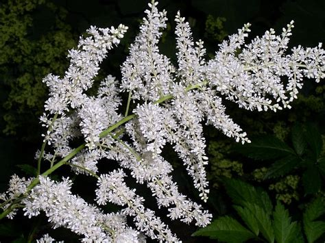 how to care for a bridal veil plant garden guides astilbe false spirea plant care guide varieties