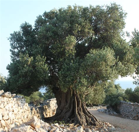 olive trees ancient olive tree google search ancient olive trees