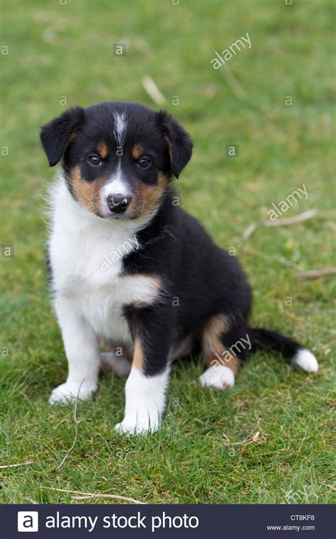 border collie puppies idaho border collie puppies black white puppies stock photo royalty free image 49363420