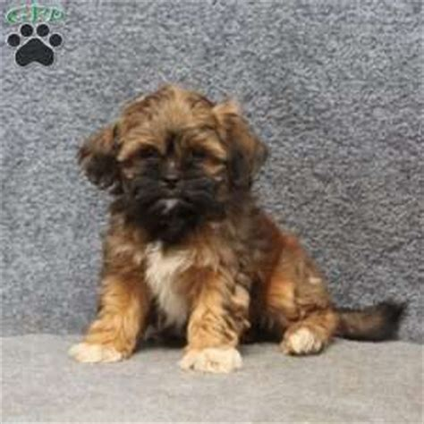 havashu puppies for sale havashu puppies for sale in de md ny nj philly dc and baltimore
