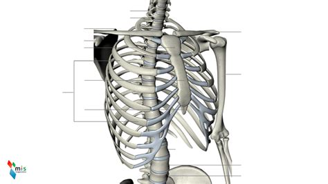 gabbia toracica umana gabbia toracica atlante anatomico immagine numero 37