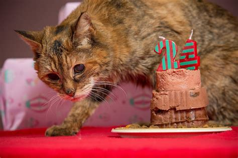 oldest living poppy is crowned world s oldest living cat at age 24 nbc news