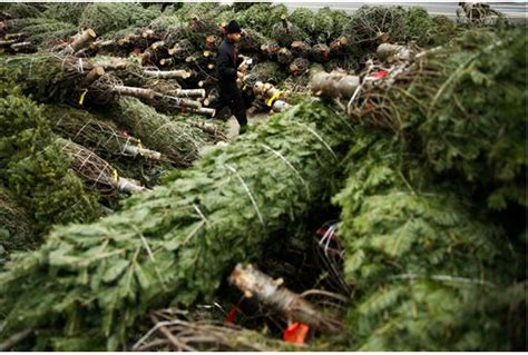 nyc christmas tree recycling program begins monday