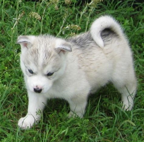 huskimo puppies past puppies huskimos
