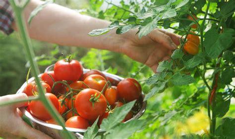 dream gardens home grown tomatoes varieties alan