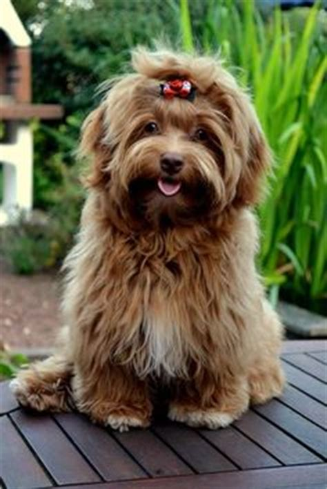 nevena havanese 1000 ideas about bichon havanais on bichons chien bichon and baby