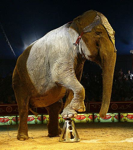 Circus Elephant Rage Should Animals Be Used In Circus Performances The Frontier Gap Year