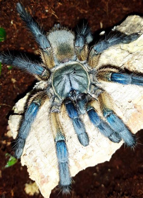 socotra island blue baboon tarantula monocentropus balfouri tarantula friendly