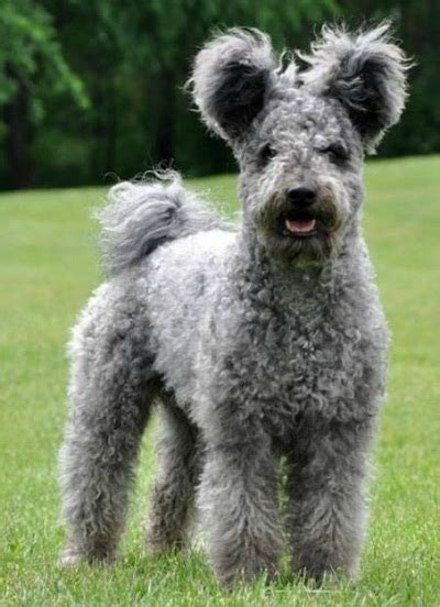 Pumi Dog Info, History, Temperament, Training, Puppies