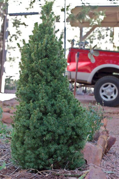 replanting a christmas tree planting a christmas tree
