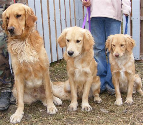 golden retriever miniature about mini goldens