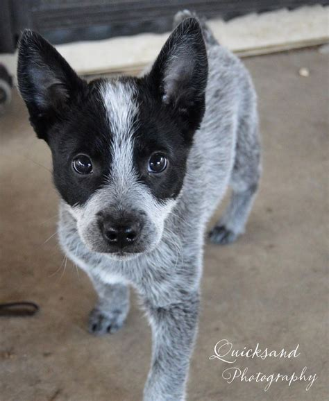 australian heeler puppies best 25 australian cattle ideas on cattle dogs blue heeler and