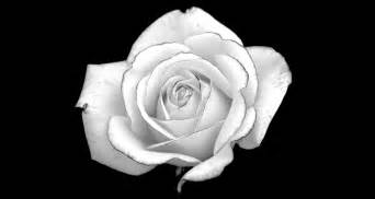 Black and white rose desktop background hd 2560x1363 deskbg com