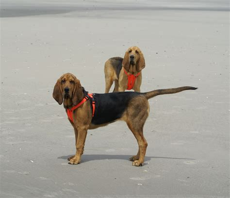 bloodhound puppies for sale in pa bloodhound puppies for sale
