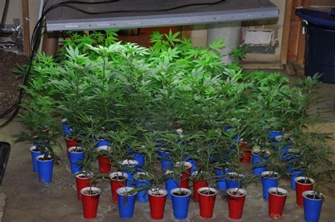 marijuana grow operation found in west chester twp home