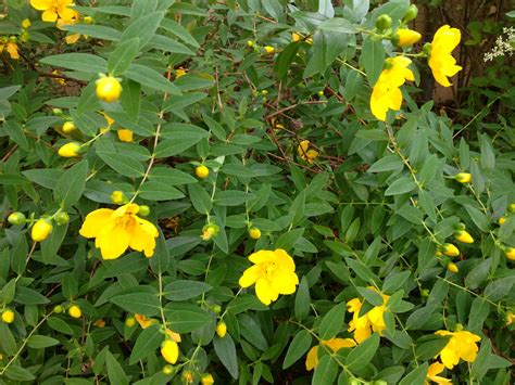 yellow flowering shrubs what is this bush with bright yellow flowers snaplant