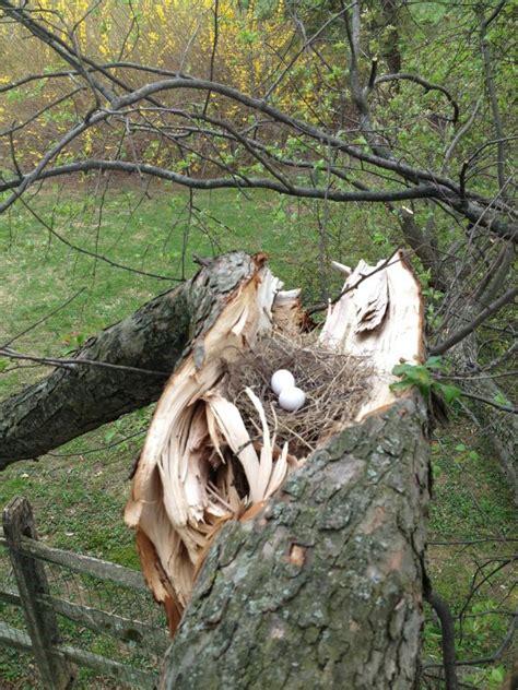 mourning dove nest on ground