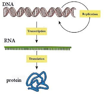 5 proteins in dna replication unit 4 dna structure dna replication protein synthesis