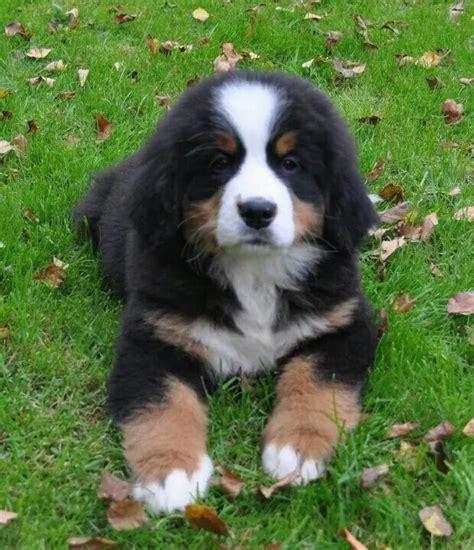 berner puppy berner puppy bernese mountain puppys