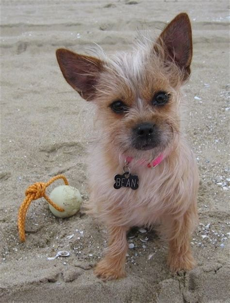 do yorkie chihuahua mix shed chihuahua cairn terrier mix pictures breeds picture