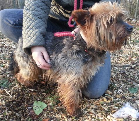 rescue dogs yorkies rescue teddy yorkie peterborough cambridgeshire pets4homes