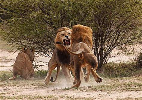 imagenes leones peleando pelea entre una cebra y un le 243 n animales en video
