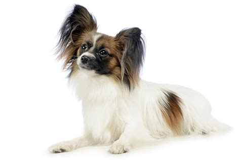 medium energy dogs breeds with low to medium energy levels breeds picture