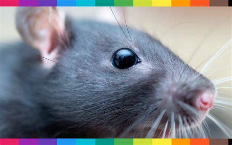 cosa significa sognare un topo in casa nel letto oppure un