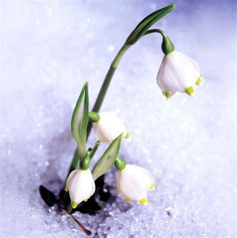 bucaneve fiori fiori piante e giardini mondo il bucaneve delicato