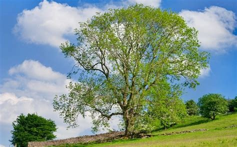 tree uk diseased ash trees may entered uk after officials