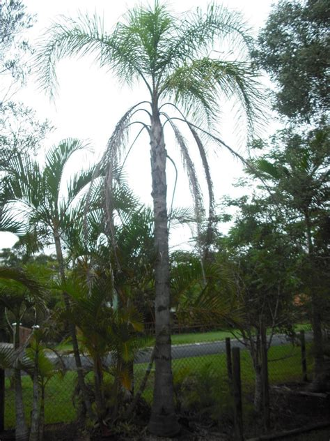 palm trees for sale for sale palm trees