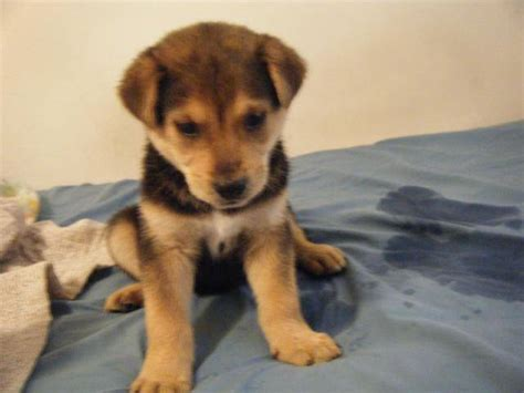 husky lab mix puppies for sale lab husky mix puppies for sale pictures of litle pups