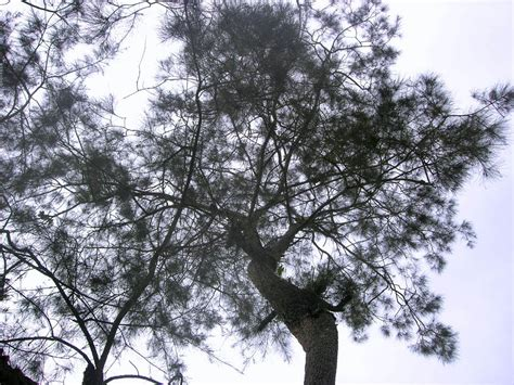 Pohon Pohonan Cemara Isi 4 panoramio photo of pohon cemara