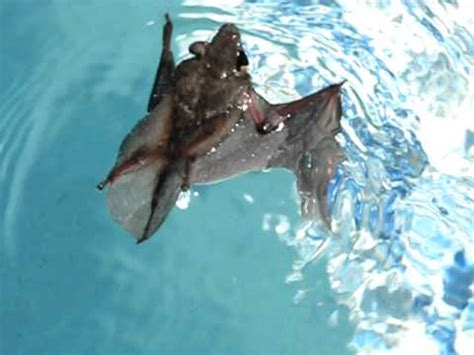 yes bats can swim yes we saved him youtube