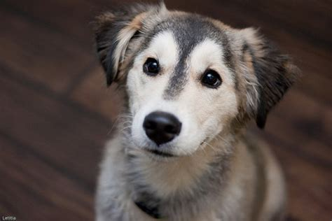 husky mix with golden retriever golden retriever husky mix