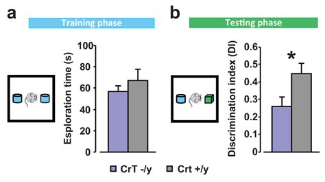 creatine transporter deficiency a novel mouse model of creatine transporter deficiency