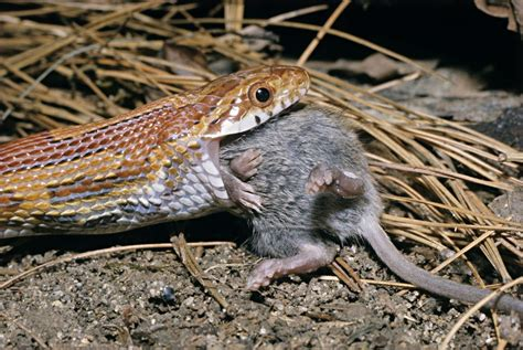 Garter Snake Eat Mice How To Feed Frozen Mice To Pet Snakes Feeding Snakes