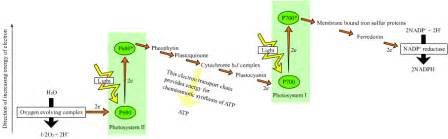 Generation Of Proton Gradients Across Membranes Occurs During Photosynthesis Photophosphorylation