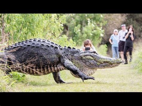 Giant Alligator Looks Like a Dinosaur! | What's Trending ... Giant Alligator Dinosaur