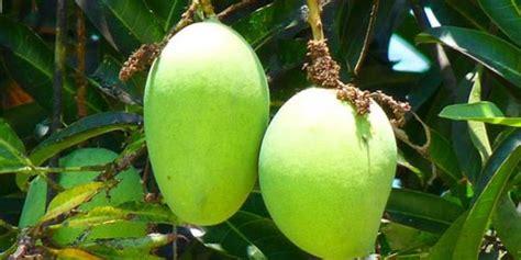 Buah Sawo Manila Muda Belum Matang 5 manfaat menyehatkan mengonsumsi mangga muda merdeka